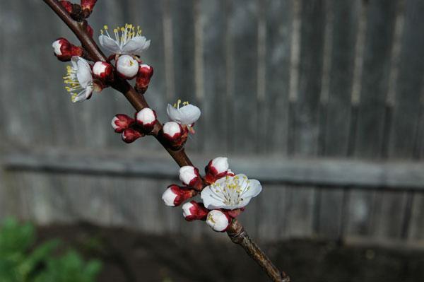 apricotblossoms.jpg