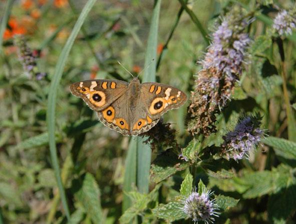 meadow-argus-butterfly.jpg